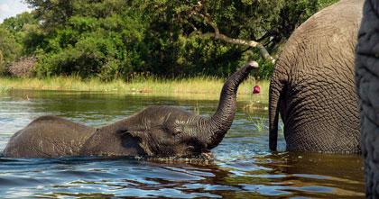 『ネイチャー』小象