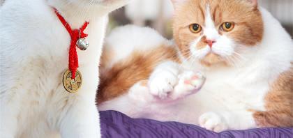 「いやし猫DVD 猫侍 玉之丞ときどき春馬」発売が緊急決定