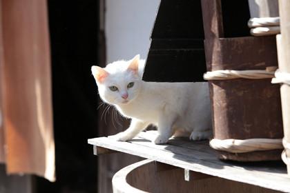 「猫侍 玉之丞、江戸へ行く」玉之丞1