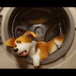『ロイヤルコーギー』セレブ犬トレーニング写真